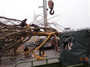 来凤一中广场移植了一颗大树(图)