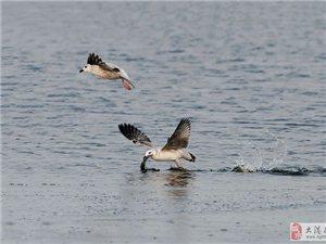 北大港湿地海鸥捕鱼