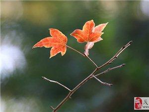 红叶迎宾 腊梅迎春