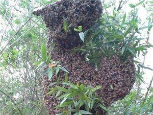 蜜蜂是世界上最�ゴ蟮�游�