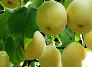 经常吃梨有助于净化人体器官软化血管265健康网