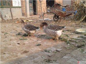 卖大雁,家散养的两只母大雁,主要吃玉米和菜叶,喂了两年半了,现在还在下