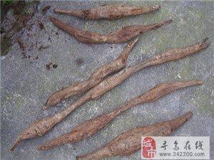 [分享]油煎葛包虫真香