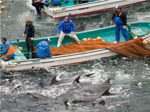 日本海豚湾狩猎再次血腥上演