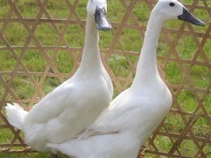 连城白鹜鸭