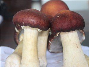 出售大球盖菇菌种