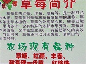 """金乡县:迎新春,陆地""""草莓""""园!自由采摘开始啦!"""