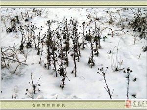 苍凉雪野待春机