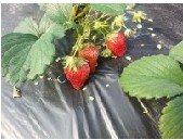 凉水井草莓园开摘了!