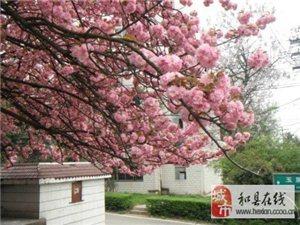 又到看樱花的季节