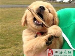 小金毛犬,很有冲动带回家。有木有