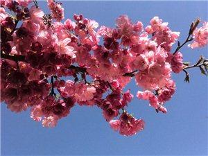 樱花盛开 吸引大众