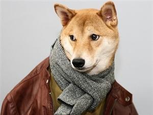 爱穿的柴犬