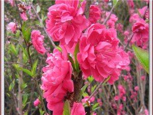 遂川:春天里的文化公�@,美不�偈眨�踏春的好去�