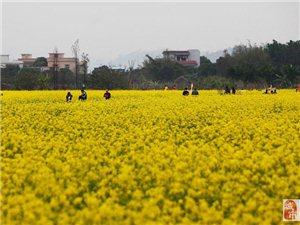 珠海莲洲油菜花盛开的季节,让我们感觉到春天的气息!