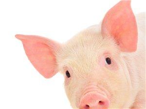 可爱的猪宝宝