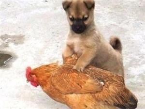 最近严打扫黄一出门就抓到了一只鸡!