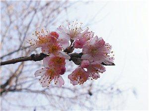 樱桃树开花了!