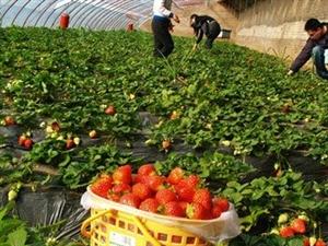 组团旅游,全家出动摘草莓