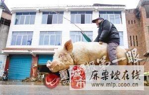 六旬老汉驯服500斤公猪