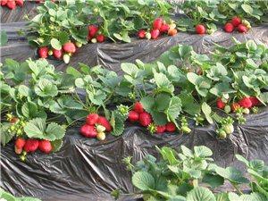 巴东联众有机草莓种植专业合作社