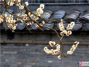 千年古梅花繁茂
