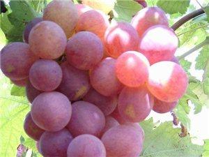 2014年云南新�r�t提  提子葡萄上市了每公斤36元