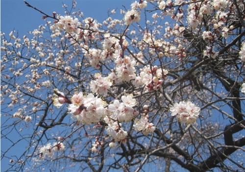 乐县万亩杏花含苞欲放迎游客