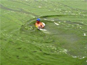 安徽巢湖现蓝藻集聚市民走下河捞鱼