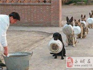 可爱的狗狗,这样整齐划一的打饭!!!