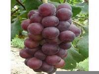 出售大棚葡萄