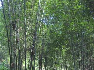 常年出售竹子