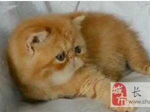 虎斑加菲猫咪大头脸大可爱自养两个月黄色