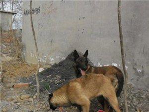 出售�R犬幼犬