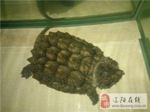 20厘米大鳄龟低价出售