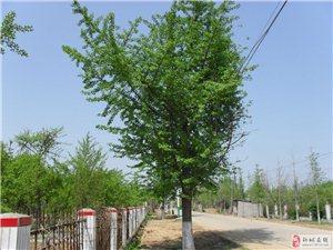 大量出售1-60公分银杏树