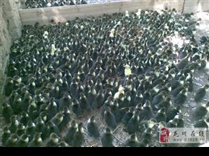 龙川鹤市养殖场有番鸭苗可零售、可批发