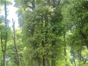 香樟优惠供应贵州省四川省广西云南陕西香樟树