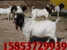 纯种波尔山羊 波尔山羊价格 山东波尔山羊养殖场