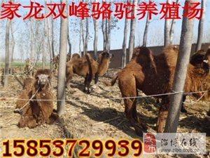 双峰骆驼 礼仪骆驼 照相骆驼 山东家龙骆驼养殖