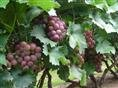 臨朐葡萄釀酒做罐頭用青色巨峰葡萄