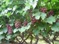 臨朐冶源鎮葡萄產區葡萄成熟上市