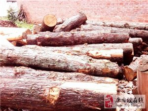 云南杉木、大板木、棺材木