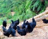 五黑鸡批发