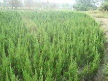供应各种绿化苗木,彩色苗,行道树