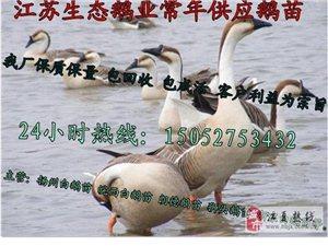 安徽鵝苗孵化基地