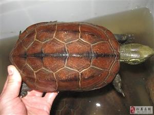 出野生老母草龟