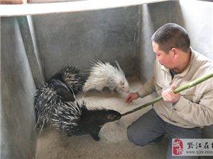 豪猪养殖人员如何有效区分公母豪猪?