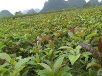 优惠供应植树造林用桂花苗