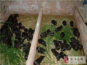 豪猪养殖不同阶段的科学有效管理方法
